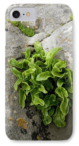 Asplenium Scolopendrium On Limestone IPhone Case by Bob Gibbons