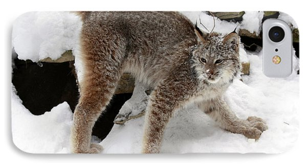 Baby Canadian Lynx Leaving The Winter Den Phone Case by Inspired Nature Photography Fine Art Photography