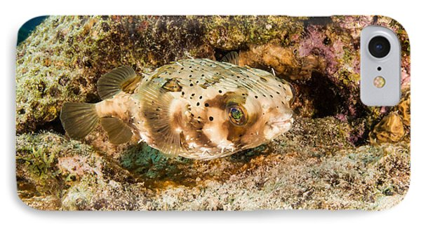 Balloonfish, Bonaire IPhone Case