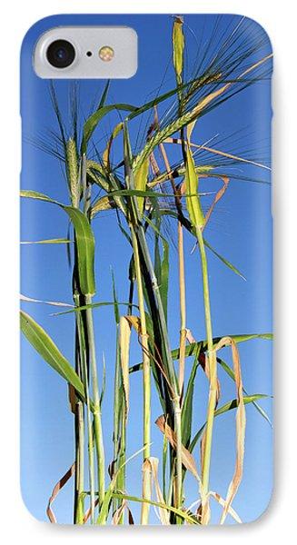 Barley (hordeum Vulgare IPhone Case by Nico Tondini