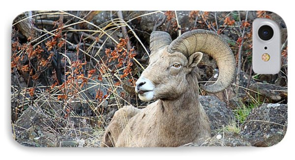 IPhone Case featuring the photograph Bedded Bighorn by Steve McKinzie