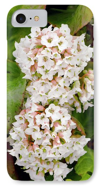 Bergenia 'bressingham White' IPhone Case by Adrian Thomas