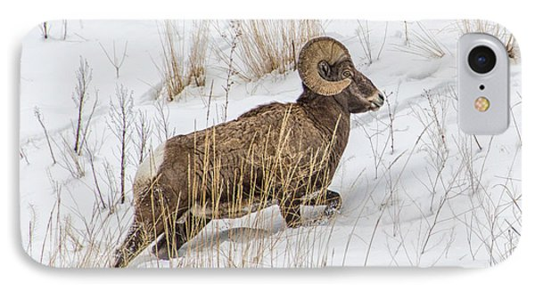 Bighorn In Yellowstone IPhone Case by Alan Toepfer