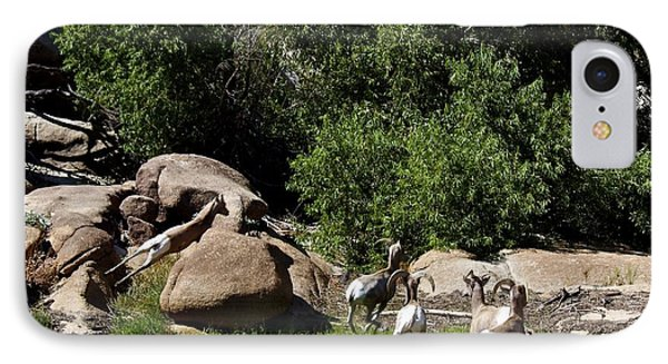 Bighorn Sheep Moving IPhone Case by Renee Sinatra