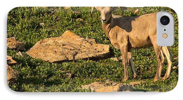 Bighorn Sheep Ram In Glacier 2 Phone Case by Natural Focal Point Photography