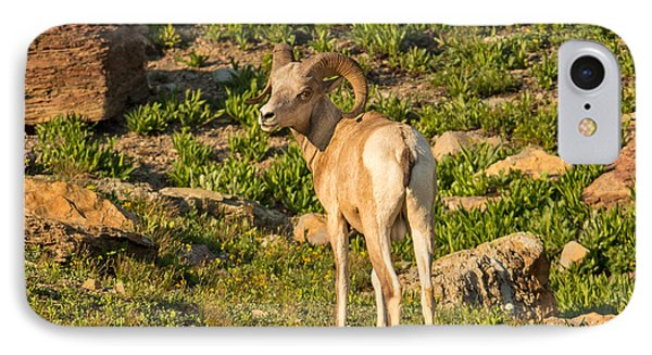 Bighorn Sheep Ram In Glacier Phone Case by Natural Focal Point Photography