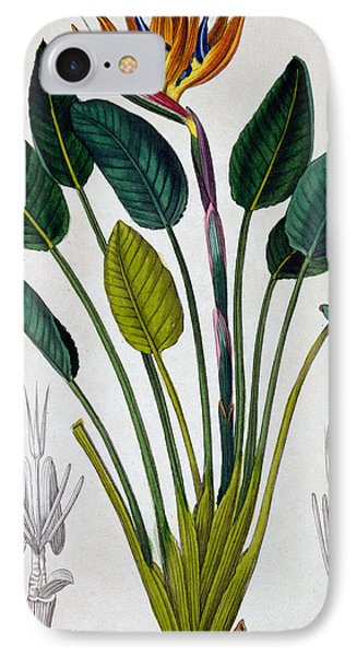 Bird Of Paradise IPhone Case by Pancrace Bessa