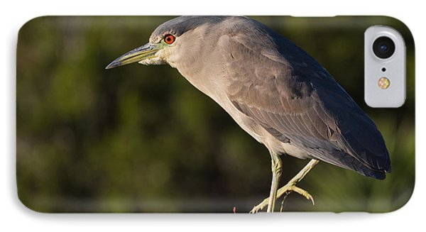 Black-crowned Night Heron At Bodega Bay IPhone Case