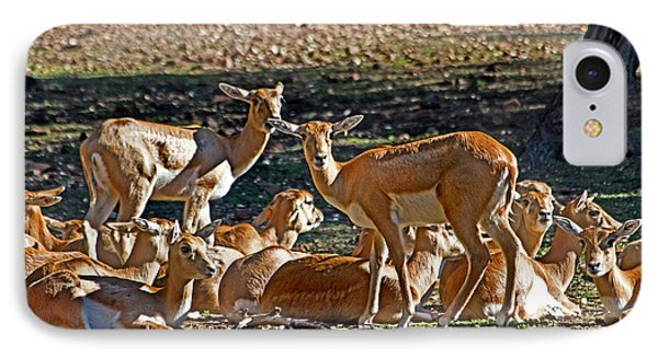 Blackbuck Female And Fawns IPhone Case by Miroslava Jurcik