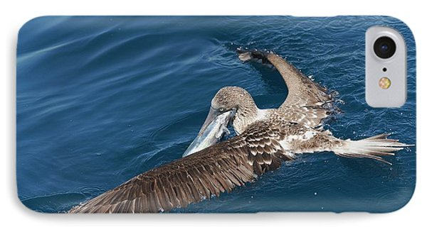 Blue-footed Booby Feeding IPhone Case