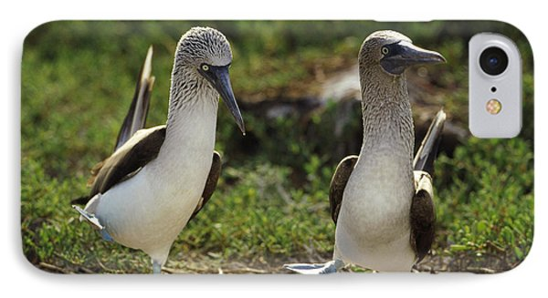 Blue-footed Booby Pair In Courtship Phone Case by Tui De Roy