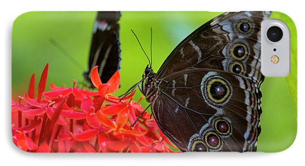 Blue Morpho Butterfly (morpho Peleides IPhone Case by Chuck Haney