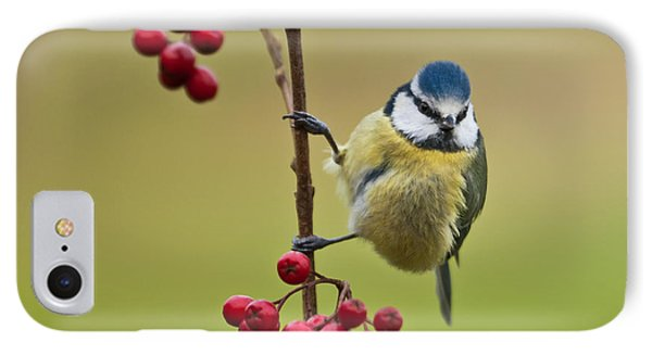 Blue Tit With Hawthorn Berries IPhone Case by Liz Leyden