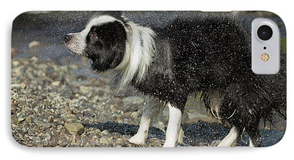 Border Collie Shaking Dry After Swimming IPhone Case by Simon Booth