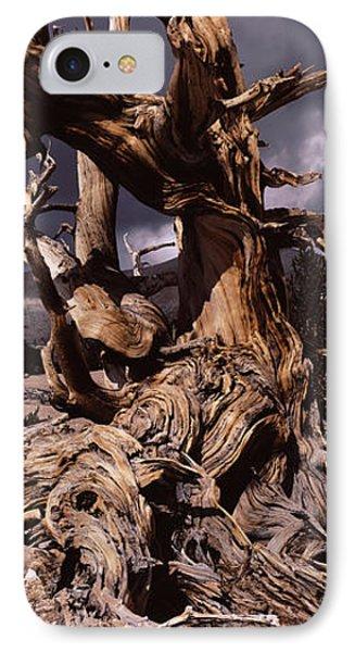 Bristlecone Pine Tree Pinus Longaeva IPhone Case by Panoramic Images