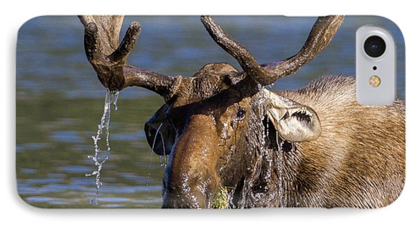 Bull Moose Sampling The Vegetation IPhone Case by Jack Bell
