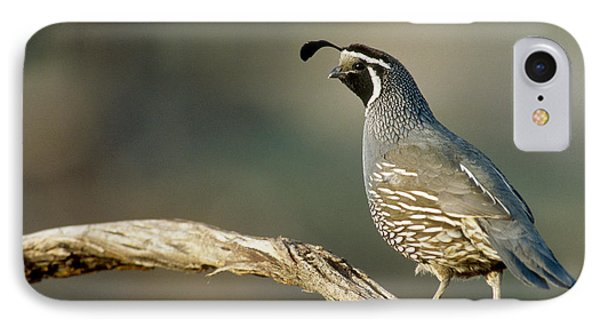 California Quail Callipepla Californica IPhone Case by William H. Mullins