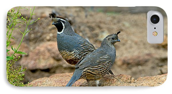 California Quail Pair On Rock IPhone Case by Anthony Mercieca