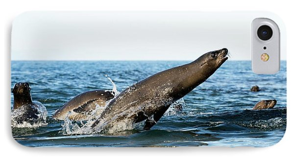 California Sea Lion Breaching IPhone Case by Christopher Swann