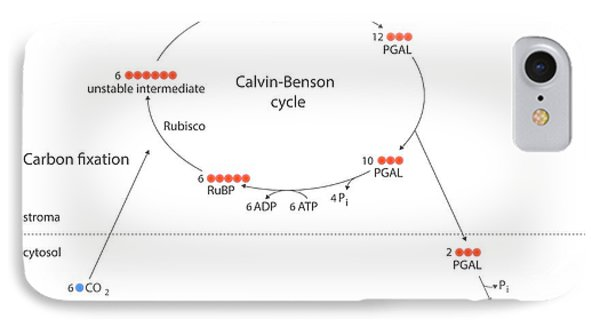 Calvin-benson Metabolic Cycle IPhone Case by Science Photo Library