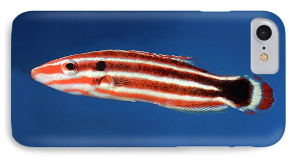 Candy Cane Hogfish IPhone Case by Nigel Downer