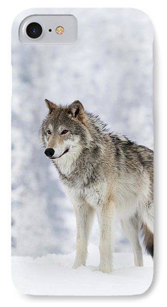 Captive  Female Tundra Wolf In Snow IPhone Case by Doug Lindstrand