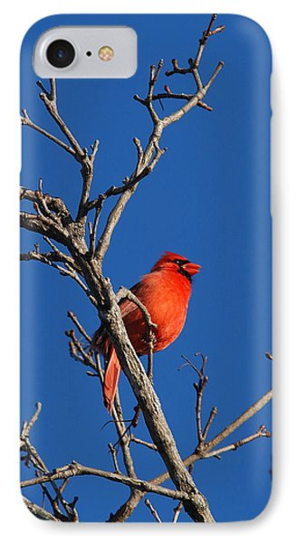 Cardinal And Blue IPhone Case by Janice Adomeit