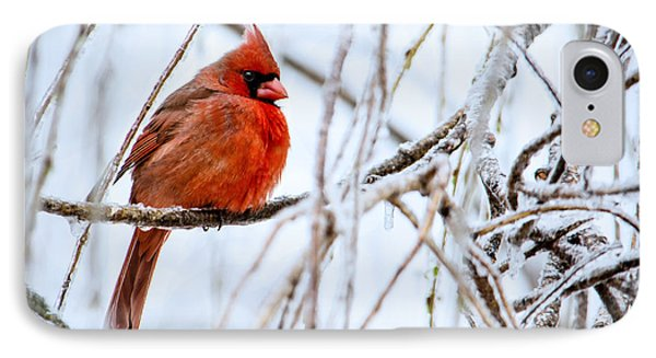 Cardinal In The Willow IIi IPhone Case