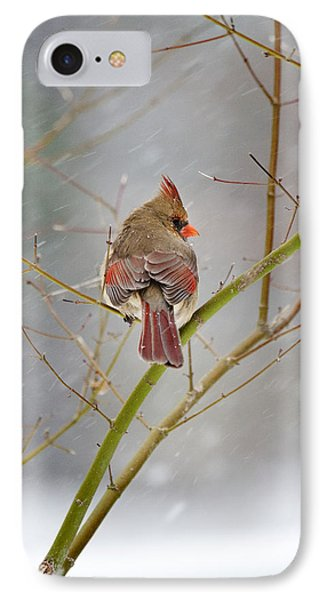 Cardinal On Maple Tree IPhone Case by Robert Camp