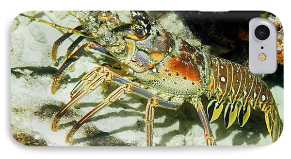 Caribbean Spiny Reef Lobster  IPhone Case by Amy McDaniel