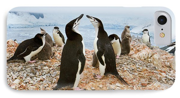 Chinstrap Penguin Colony Spigot Point IPhone Case by