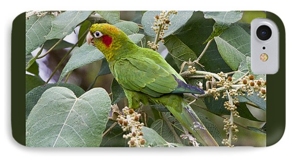 Chiriqui Conure 2 IPhone Case by Heiko Koehrer-Wagner
