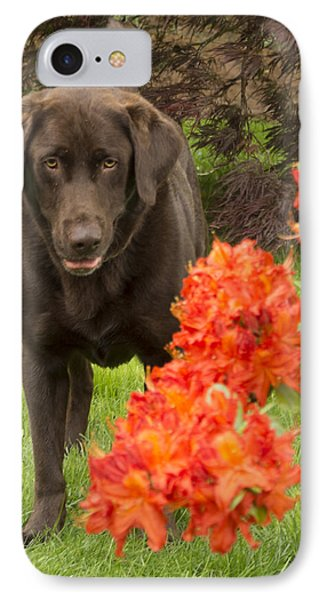 Chocolate Lab In Azaleas  IPhone Case by Jean Noren