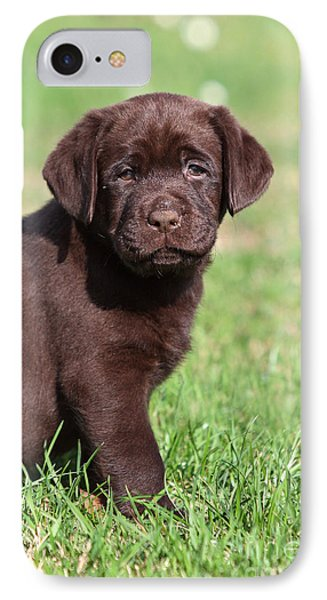 Chocolate Labrador Retriever Puppy Sitting In Grass IPhone Case by Dog Photos
