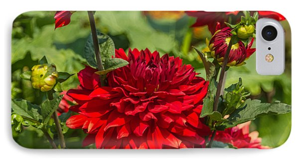 Cluster Of Dahlias IPhone Case by Jane Luxton