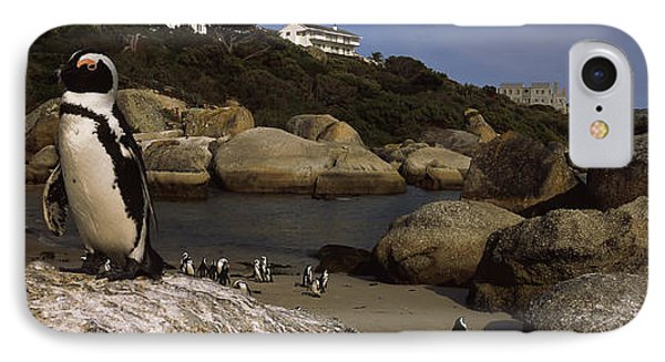 Colony Of Jackass Penguins Spheniscus IPhone Case