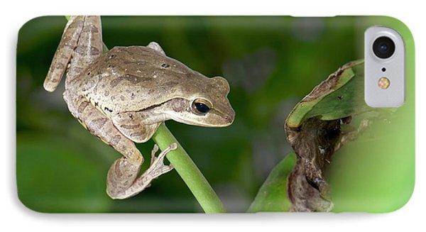 Common Indian Tree Frog IPhone Case by K Jayaram