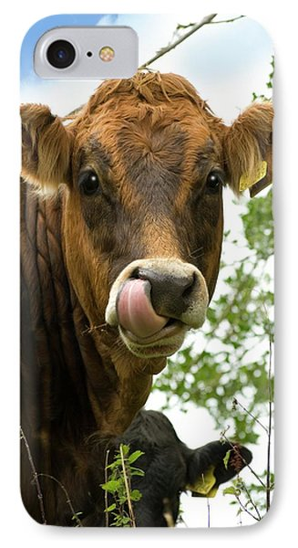Cow Licking Its Nose IPhone Case by David Aubrey