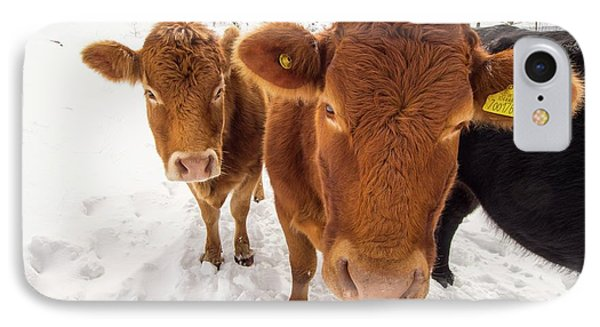 Cows In Winter IPhone Case by Ashley Cooper