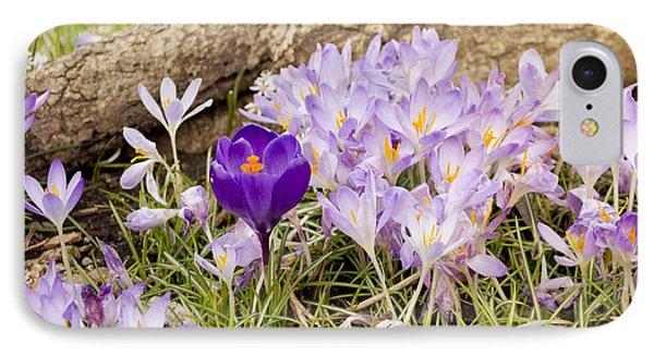 Crocus Garden In Spring IPhone Case by Maria Janicki