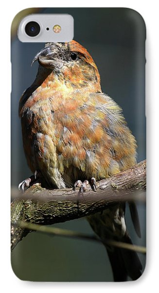 Crossbill iPhone 7 Case - Crossbill Loxia Curvirostra Male Spain by David Santiago Garcia