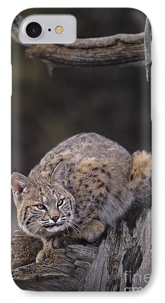 Crouching Bobcat Montana Wildlife Phone Case by Dave Welling