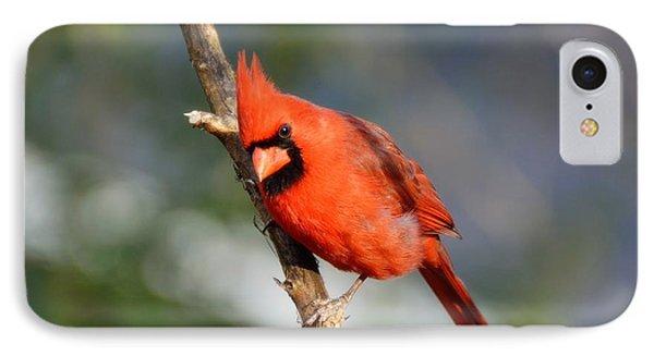 Curious Cardinal IPhone Case by Lisa L Silva