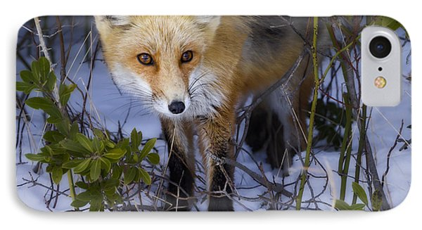 Curious Red Fox IPhone Case by Susan Candelario