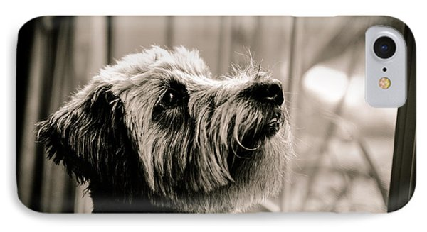 Curious Schnoodle IPhone Case by Jon Woodhams