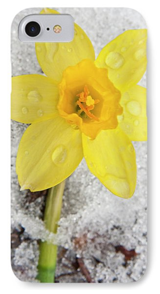 Daffodil In Spring Snow IPhone Case