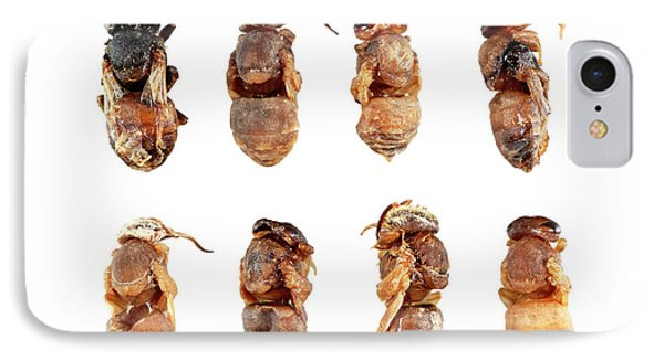 Honeybee iPhone 7 Case - Deformed Honeybee Pupae by Uk Crown Copyright Courtesy Of Fera/science Photo Library