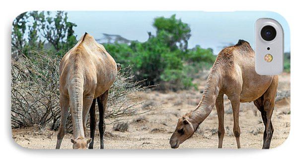 Dromedary Camels Drinking IPhone Case by Babak Tafreshi