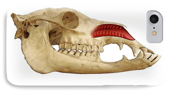 Dromedary Camel's Nose And Skull IPhone Case by Mikkel Juul Jensen