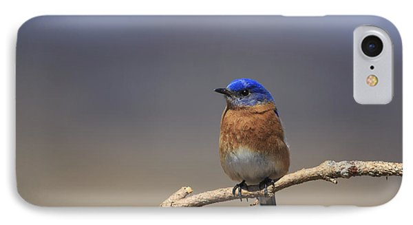 Eastern Bluebird 3 IPhone Case